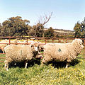 CSIRO ScienceImage 2294 A normal sized control sheep left and transgenic sheep right.jpg