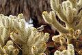 Cactus wren (Campylorhynchus brunneicapillus) building a nest - 12938027583.jpg