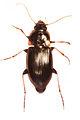 Calathosoma rubromarginatum female.jpg
