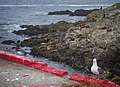 California Sea and Steller Sea Lion with Western Gull photo bomb (14281058831).jpg