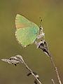 Callophrys rubi 015.JPG