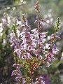 Calluna vulgaris 07.jpg
