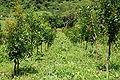 Calophyllum brasiliense plantation.jpg