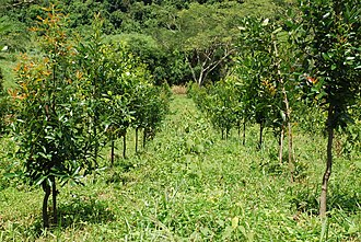 Calophyllum - Image: Calophyllum brasiliense plantation
