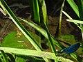 Calopteryx IMG 5477.jpg