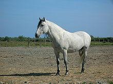 168ab52a73c Le cheval de Camargue résiste à toutes les tentatives de croisements dits «  améliorateurs ».