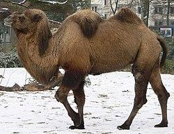 Kamel (Camelus bactrianus)