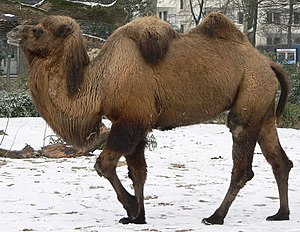 Camelid - A Bactrian camel walking in the snow