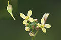 Camelina microcarpa - 26042010.jpg
