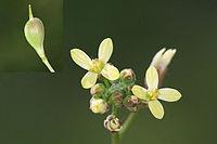 Camelina microcarpa - 26042010