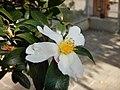 Camellia vernalis 171015 01.jpg