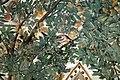 Camillo mantovano, volta della sala a fogliami di palazzo grimani, 1560-65 ca. 23 quercia 3 uccello.jpg