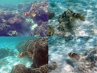 Camouflage cuttlefish.jpg