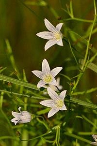 Campanula aparinoides (9243075417).jpg