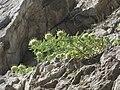 Campanula petraea1.jpg