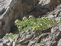 Campanula petraea1