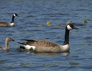 North Platte National Wildlife Refuge - Canada geese with offspring