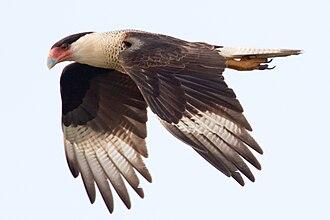 Caracara - Crested caracara in flight
