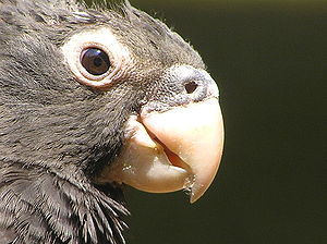 Greater vasa parrot - Close up of head