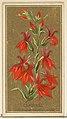 Cardinal (Lobelia cardinalis), from the Flowers series for Old Judge Cigarettes MET DP822002.jpg