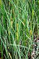 Carex hirta Hairy Sedge შებუსული ისლი.JPG