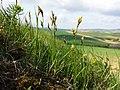 Carex praecox sl3.jpg
