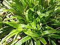 Carexplantaginea.jpg