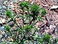 Carlina corymbosa Plant SierraMadrona.jpg