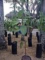 Caryodendron Orinocense.jpg