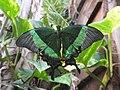 Casa delle Farfalle - Papilio palinurus.jpg