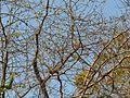 Casearia graveolens (3382811664).jpg