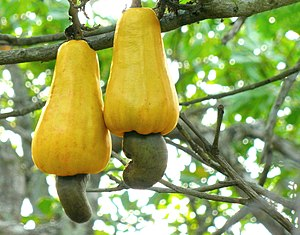 Two bright-yellow cashew fruits on tree, with green nuts on bottom