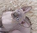 Cat - Sphynx. img 054.jpg