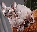 Cat Sphynx. img 003.jpg