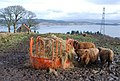 Cattle above Loch Gilp - geograph.org.uk - 702308.jpg