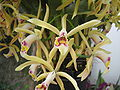 Cattleya iricolor - Flickr 003.jpg