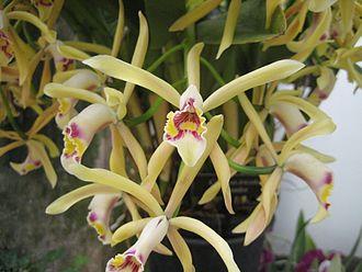 Cattleya iricolor - Image: Cattleya iricolor Flickr 003