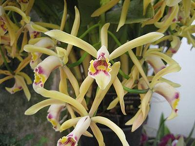 Cattleya iricolor - Ecuador