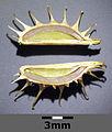 Caucalis platycarpos subsp. platycarpos sl15.jpg