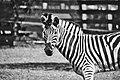 Cebra en blanco y negro .jpg