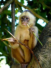 A young male White-fronted Capuchin (Cebus albifrons).
