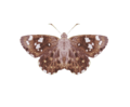 Celaenorrhinus ambareesa.png