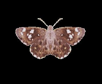 Celaenorrhinus - Celaenorrhinus ambareesa