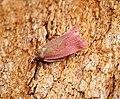 Celypha rosaceana (43122827140).jpg