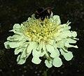 Cephalaria gigantea 2015-06-20 3294.jpg