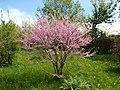 Cercis siliquastrum 4 (Poltava Botanical garden).jpg