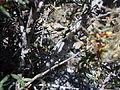 Cercocarpus ledifolius (5062632435).jpg