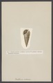 Cerithium - Print - Iconographia Zoologica - Special Collections University of Amsterdam - UBAINV0274 005 02 0016.tif
