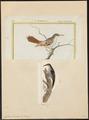 Certhia familiaris - 1700-1880 - Print - Iconographia Zoologica - Special Collections University of Amsterdam - UBA01 IZ19200357.tif