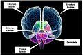 Cervello macroArea.jpg